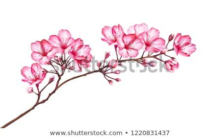 Akwarela sakura oddziału kwiaty ilustracja Zdjęcia stock © ShustrikS