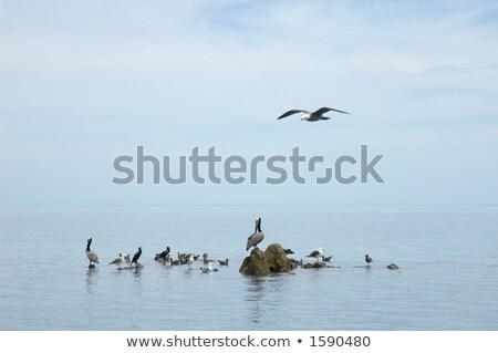 birds in the sea of muleje baja california mexico stock photo © papa1266