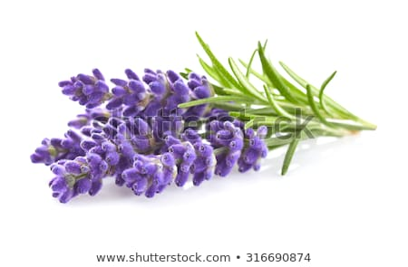 Closeup of lavender flowers Stock photo © Arrxxx