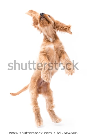 jumping cocker spaniel Stock photo © cynoclub