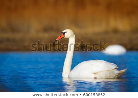 Sourdine cygne portrait juvénile eau Photo stock © scooperdigital