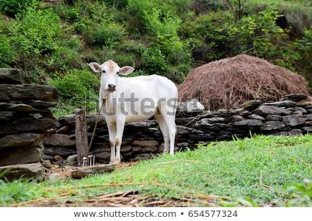 Indian white cow baby Stock photo © ziprashantzi