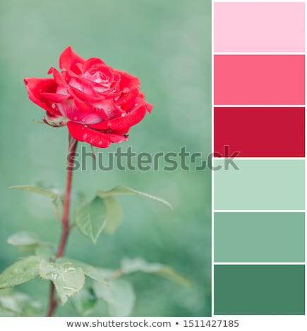 red rose colour palette swatch stock photo © redpixel