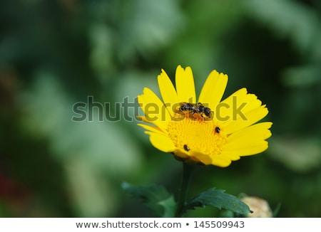 Biene · Gänseblümchen · Blume · Arbeit · Hintergrund - stock foto © sarahdoow