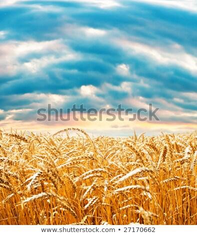 Arany mező felhős égbolt étel tájkép Stock fotó © mycola