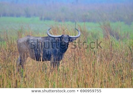 wild buffalos in the jungle  Stock photo © meinzahn