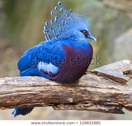 エキゾチック 鳥 青 アフリカ 動物 アフリカ ストックフォト © alex_grichenko