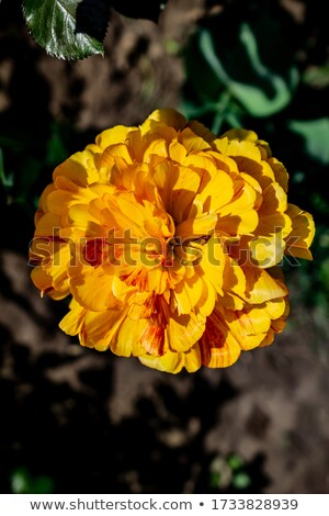 French Marigold  (lat. Tagetes patula) Stock photo © fisfra