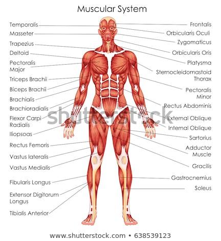 男性 · 筋肉の · 3dのレンダリング · 実例 · スポーツ · 医療 - ストックフォト © adrenalina