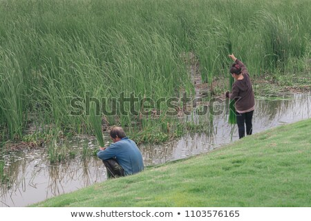 Collecting reed Stock photo © igabriela
