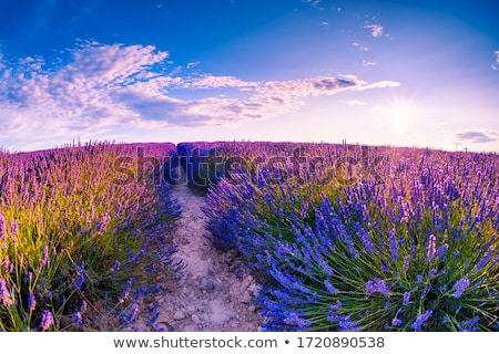 Lavande champ de fleurs été temps soleil Photo stock © mady70