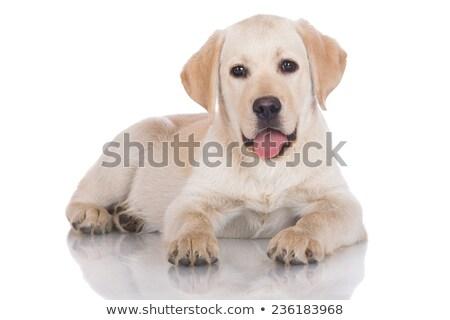 Zdjęcia stock: Cute · szczeniak · biały