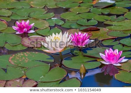 водный растений изображение воды весны зеленый Сток-фото © njnightsky