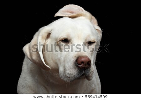 labrador retriever portrait with flying ears in white studio Stock photo © vauvau