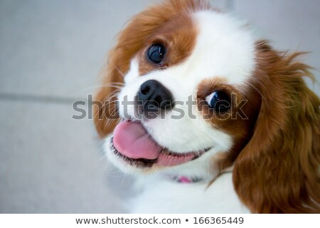 cute puppy Cavalier King Charles Spaniel sitting and looking dow stock photo © vauvau