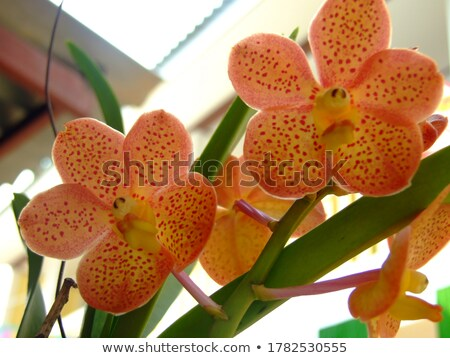 Yellow and red stripes orchid in the farm Stock photo © Yongkiet
