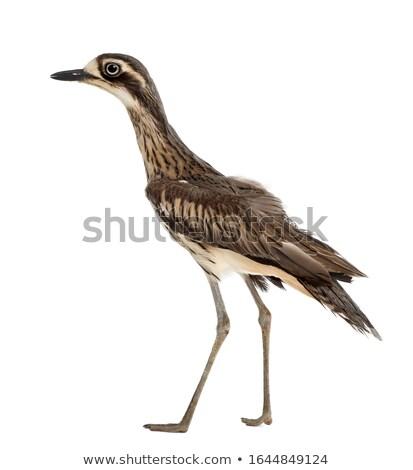Bokor Queensland Ausztrália természet madár utazás Stock fotó © dirkr