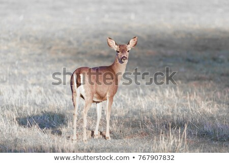 Cautious Black-tailed Deer Looking Back. Stock photo © yhelfman