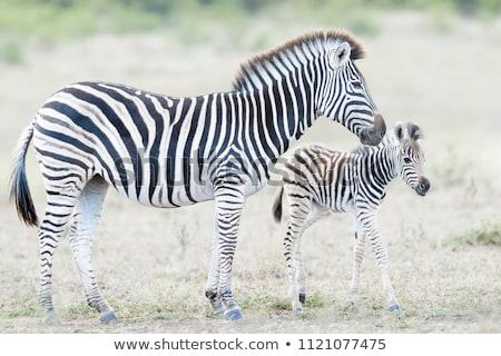 zebra · anya · baba · park · Zambia · természet - stock fotó © kasto