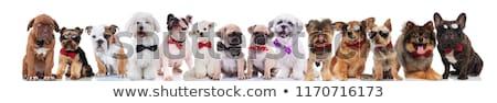 francés · bulldog · gafas · de · sol · rojo - foto stock © feedough
