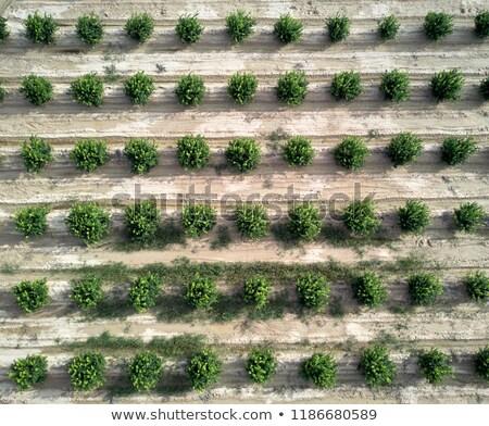 Green bushes orange trees in a row. Spain Stock photo © amok