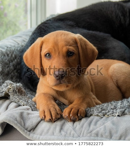 Golden Retriever puppy male lying down Stock photo © yhelfman
