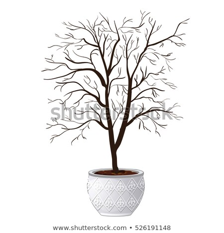 Stock photo: Compact domestic tree in ornamental flowerpot dropped leaves isolated on white background. Vector ca
