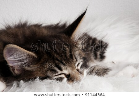 Cute brown tabby with white maine coon kitten sitting sitting side ways, looking at lens with brown  Stock photo © CatchyImages