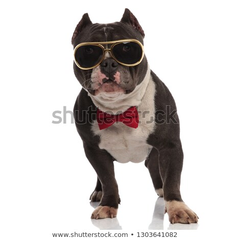 stylish american bully wearing golden sunglasses and red bowtie Stock photo © feedough