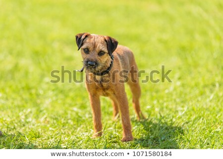 border terrier on a green grass lawn stock photo © capturelight