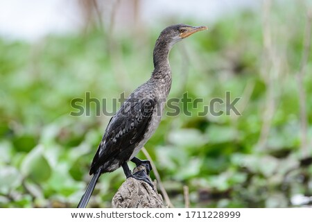 Long-Tailed Cormorant (Phalacrocorax africanus) Stock photo © davemontreuil