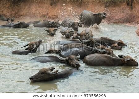 болото трава лес корова области черный Сток-фото © stoonn