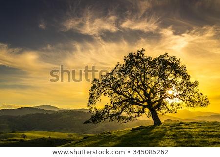 światło słoneczne dąb pozostawia spadek sezonie charakter świetle Zdjęcia stock © smithore