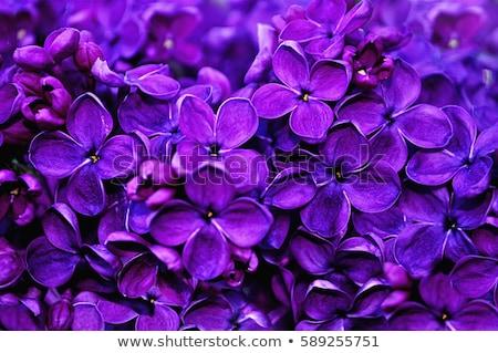 flores · campo · primavera · neve · gelo - foto stock © jonnysek