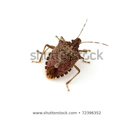 Shield or stink bug isolated on white Stock photo © njnightsky