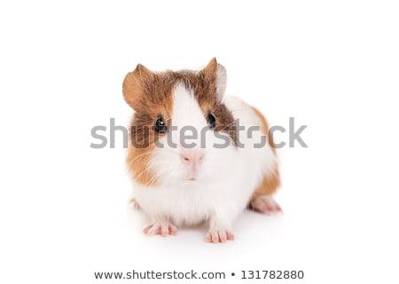 豚 · スタジオ · 白 · ファーム · 小さな · 動物 - ストックフォト © joannawnuk