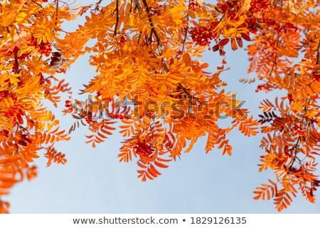 Foto stock: Folhas · outono · blue · sky · brilhante · céu · folha