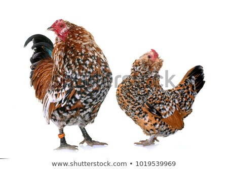 Barbu d'Anvers chicken and rooster Stock photo © cynoclub