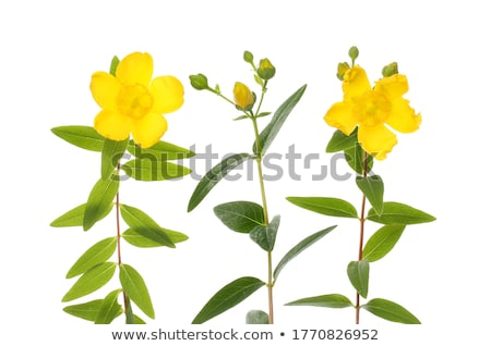 Yellow Hypericum Hidcote  flowers isolated on white Stock photo © CatchyImages