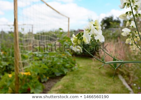 White everlasting pea flowers in an allotment garden Stock photo © sarahdoow