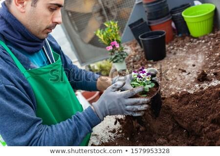 Gardener in a greenhouse transplant pansies for sale. Stock photo © antonio_gravante