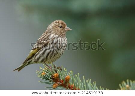 Pino pino rama naturaleza aves animales Foto stock © stockfrank
