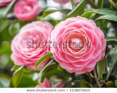 美しい ピンク 桜 春 葉 緑 ストックフォト © Ansonstock