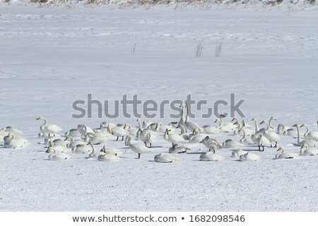 snow field and swans in  Japanese winter Stock photo © yoshiyayo