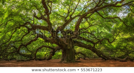 beautiful oak tree trunk Stock photo © smithore