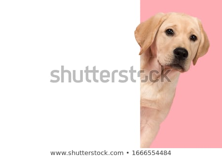 witte · labrador · retriever · puppy · hond · camera - stockfoto © ryhor
