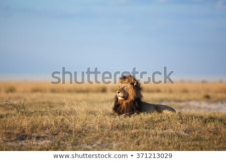 Lion and lioness in the African savanna Stock photo © ajlber