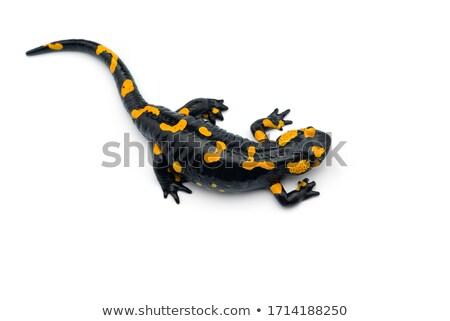 fire salamander stock photo © kikkerdirk