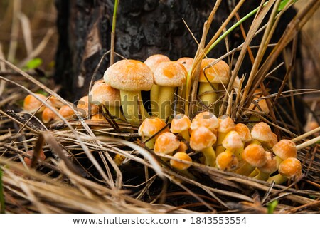 agaric honey fungus near stump in forest Stock photo © michey