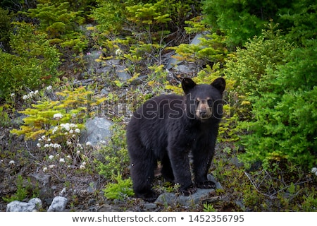 Black Bear stock photo © nialat